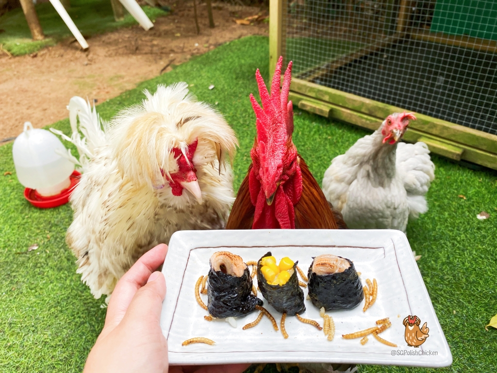 Fun Recipe Ideas for your pet chickens by SGPolishChicken. Singapore Pet Chickens