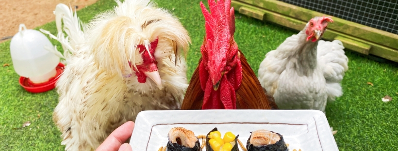 What to feed pet chicken